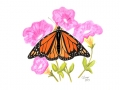 15a Monarch on Pink